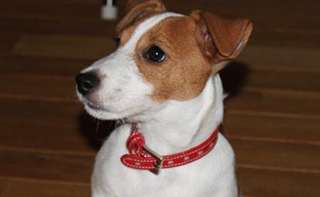 メスの飼い犬チャロ (1)