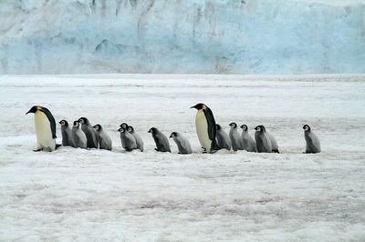 emperor-penguins-2821897_640