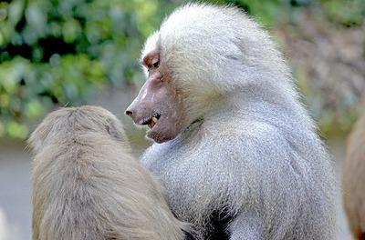 baboon-1400305_640
