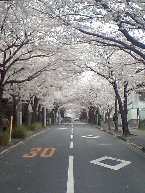 メロウトーンがお送りする春の画像その6 『川崎市フルーツパークに続く坂道の桜』