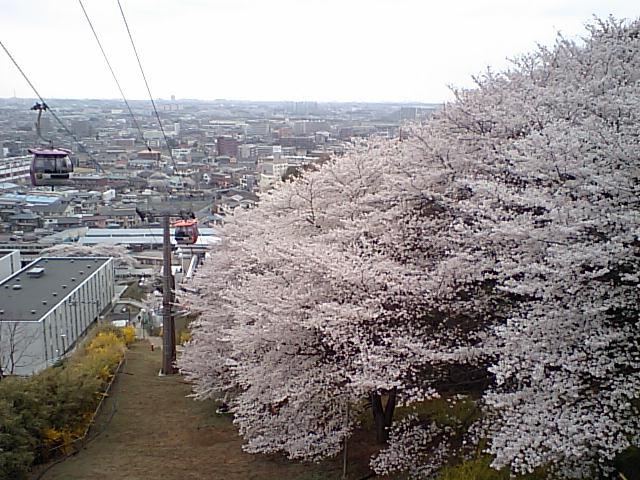 メロウトーンがお送りする春の画像その4 『よみうりランドの桜』
