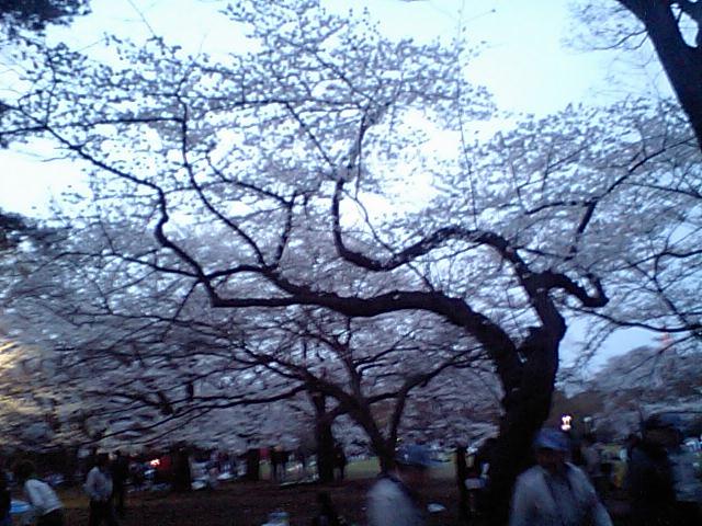 メロウトーンがお送りする春の画像その3 『代々木公園の桜』