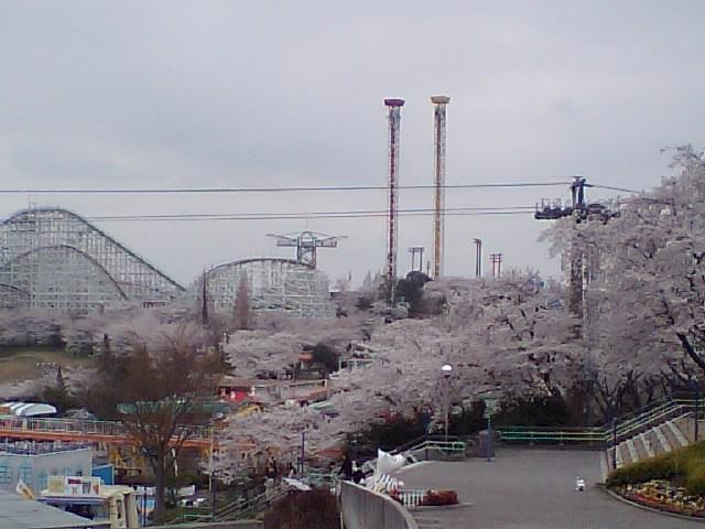 メロウトーンがお送りする春の画像その5 『よみうりランドの桜』