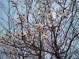 メロウトーンがお送りする春の画像その1 『梅の花』