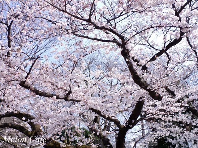 ドールスムージーモニターと上野公園の桜風景07