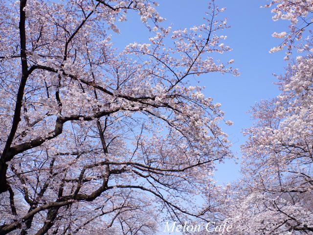 ドールスムージーモニターと上野公園の桜風景06
