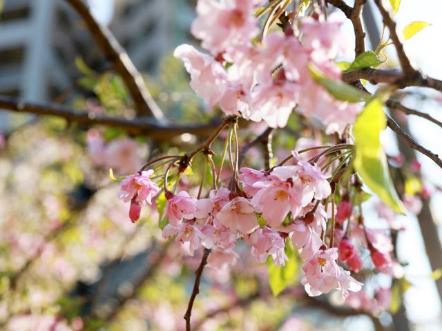 めろんカフェ2020年の桜01