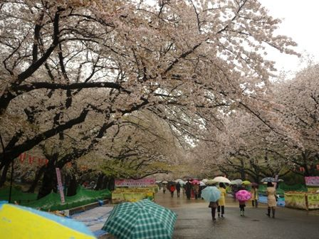 桜咲く上野恩寵公園01