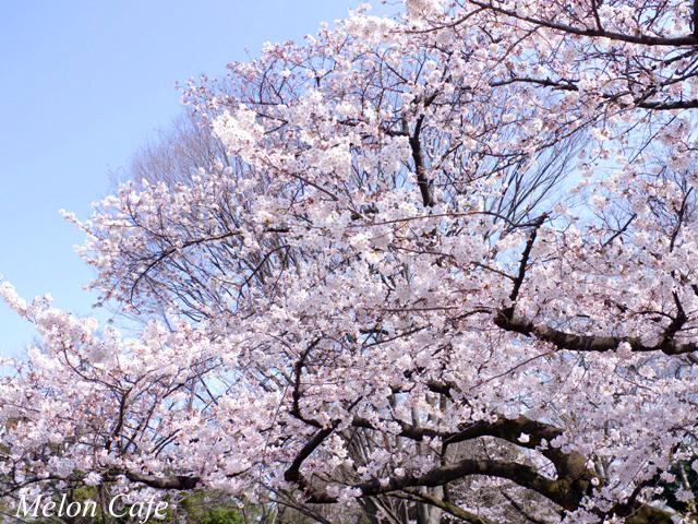 ドールスムージーモニターと上野公園の桜風景03