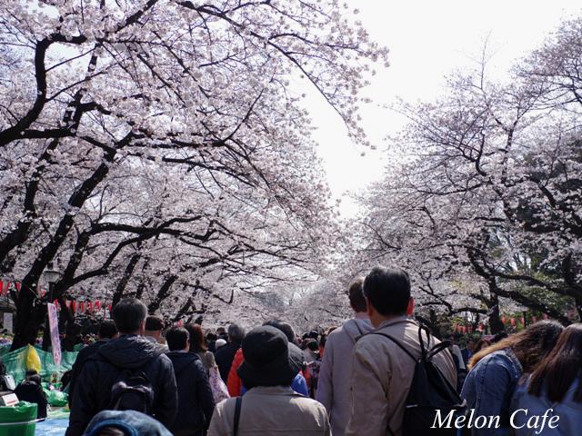 ドールスムージーモニターと上野公園の桜風景05