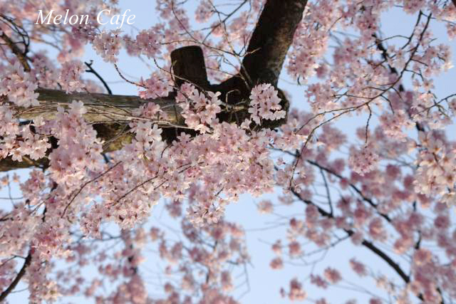 小石川後楽園の桜201709