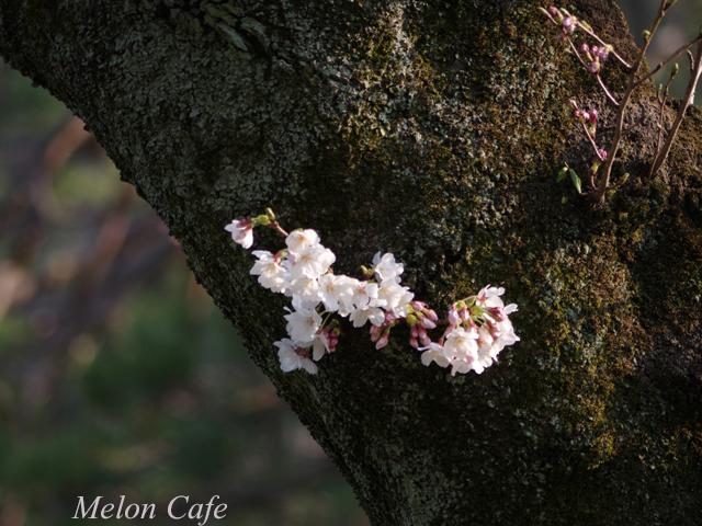 小石川後楽園の桜201708