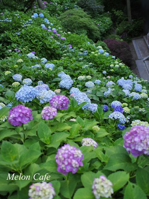 鎌倉のあじさい散策と江ノ電その2の17