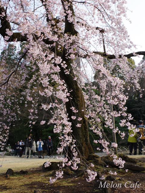 小石川後楽園の桜201711