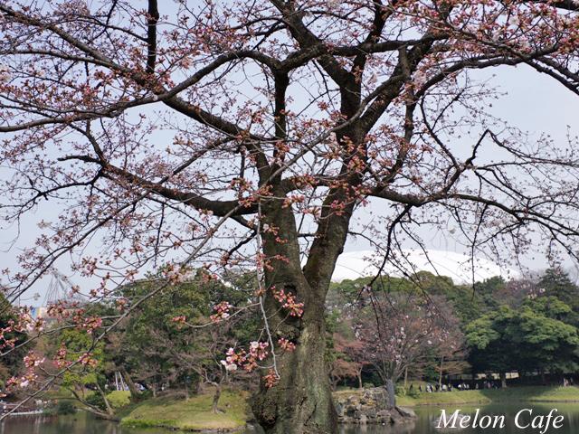 小石川後楽園の桜201705