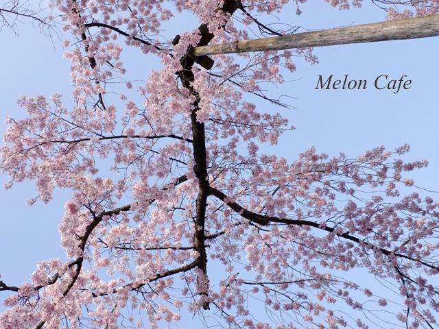 小石川後楽園の桜201710
