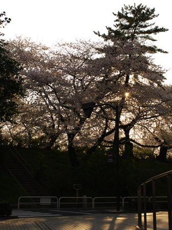 近くの桜が満開です