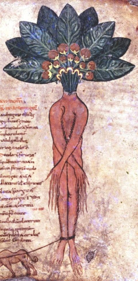 , Pseudo-Apuleius, Herbarium