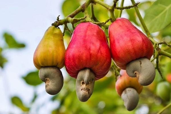 cashew-nuts03