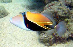 Reef_Triggerfish_1