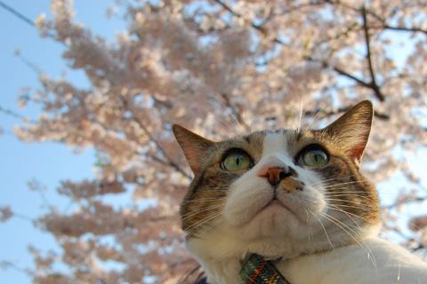 大きな桜の木に到着〜。