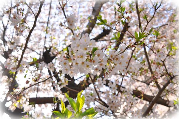 だからこそこんなに桜は人気なんでしょうけどね。