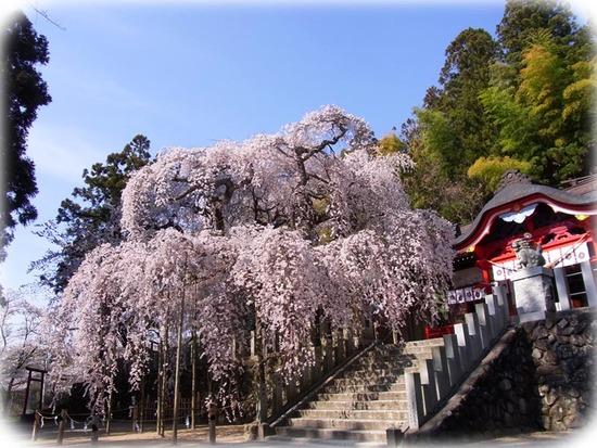 何世紀も生き続けてきた桜の木。