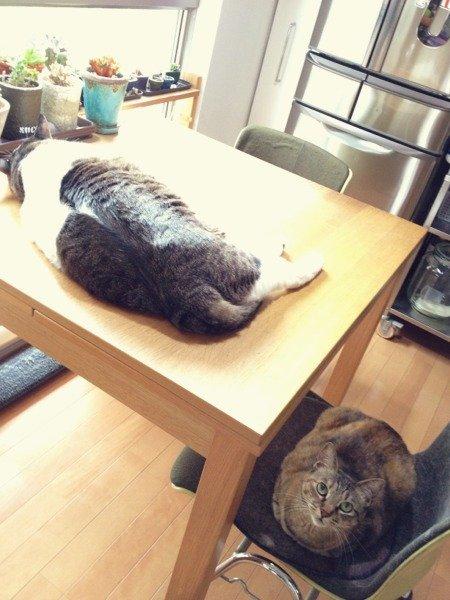 めんまさんの最近の寝床はダイニングテーブルです。