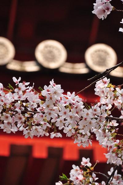 桜撮影は相方さん。