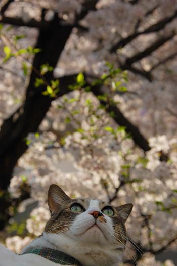 人さまのお家の桜の木。