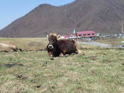 ただの牛??