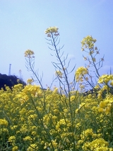 伊豆-南伊豆町菜の花畑