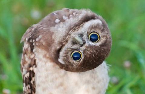 【とり】5羽のアナホリフクロウのヒナがかわいいしぐさ 高