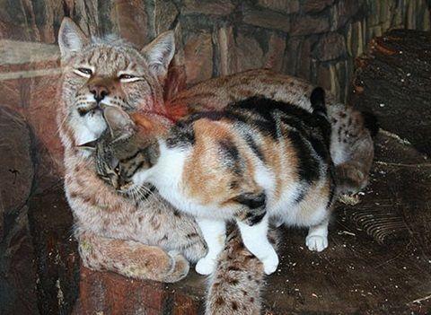 【猫】 「好きになった相手はヤマネコでした…」動物園内の檻の中に侵入しそのままラブラブな通い妻生活を送っている猫