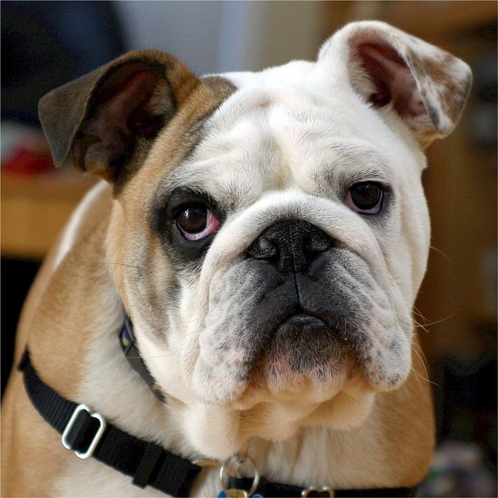 english-bulldog-538485_960_720