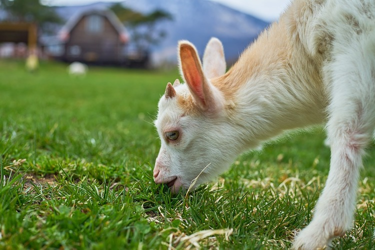 goat-2268470_960_720