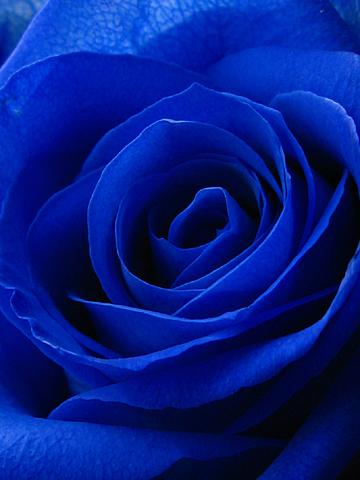 ジ・ アクアリウム:青い薔薇