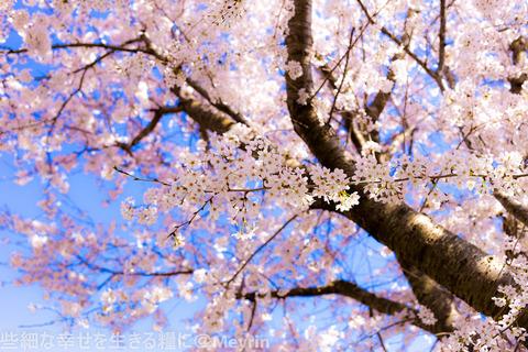 2015年4月桜撮影09