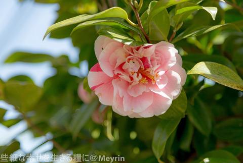 2015年4月桜撮影01