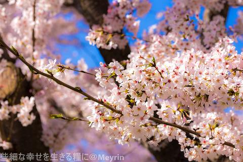 2015年4月桜撮影14