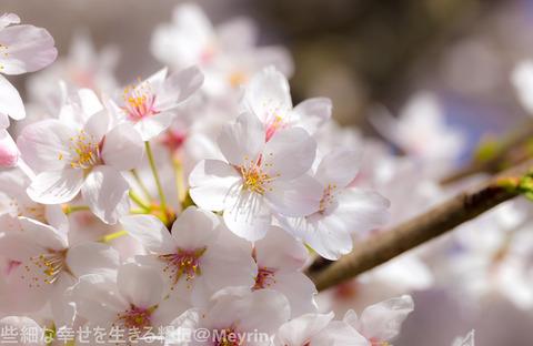 2015年4月桜撮影16