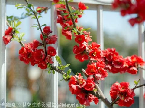 2015年4月桜撮影02
