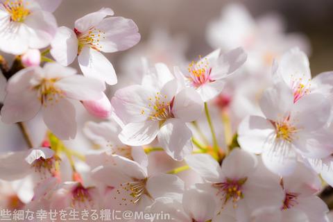 2015年4月桜撮影15