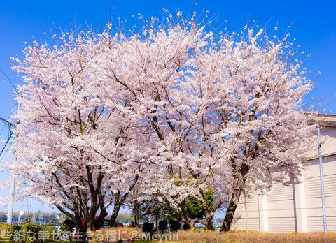 2015年4月桜撮影08