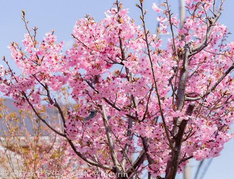 2015年4月桜撮影06