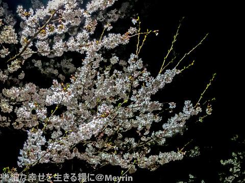 2015年4月桜撮影07
