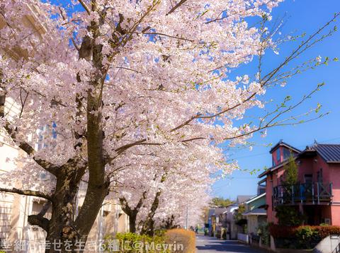 2015年4月桜撮影10