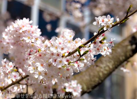 2015年4月桜撮影13