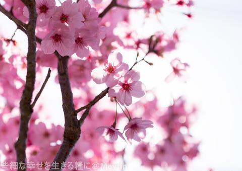 2015年4月桜撮影04