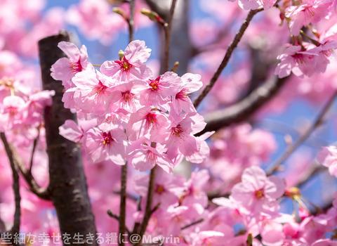 2015年4月桜撮影05